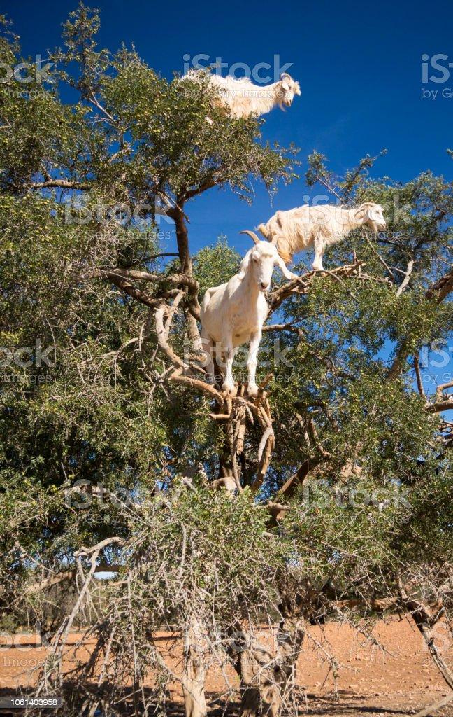 Tree Climbing Goats in Morocco stock photo