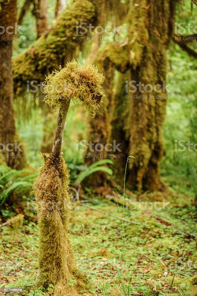 Tree closeup covered with moss in the rain forest stock photo