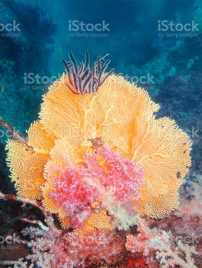 Tree Coral and Feather Star royalty-free stock photo