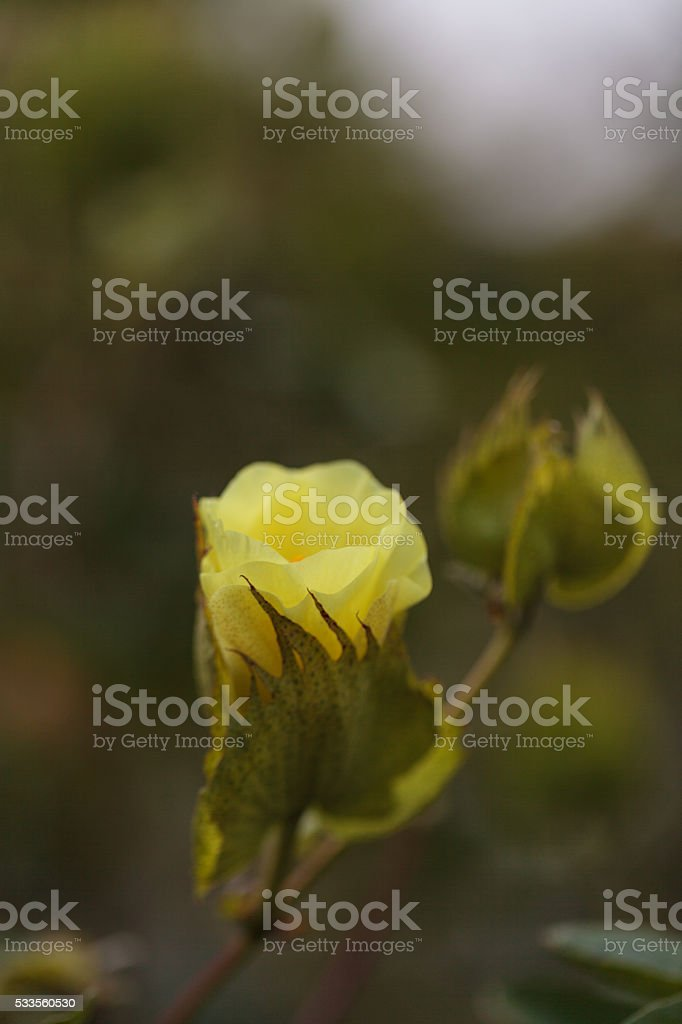 Tree cotton, Gossypium barbadense stock photo
