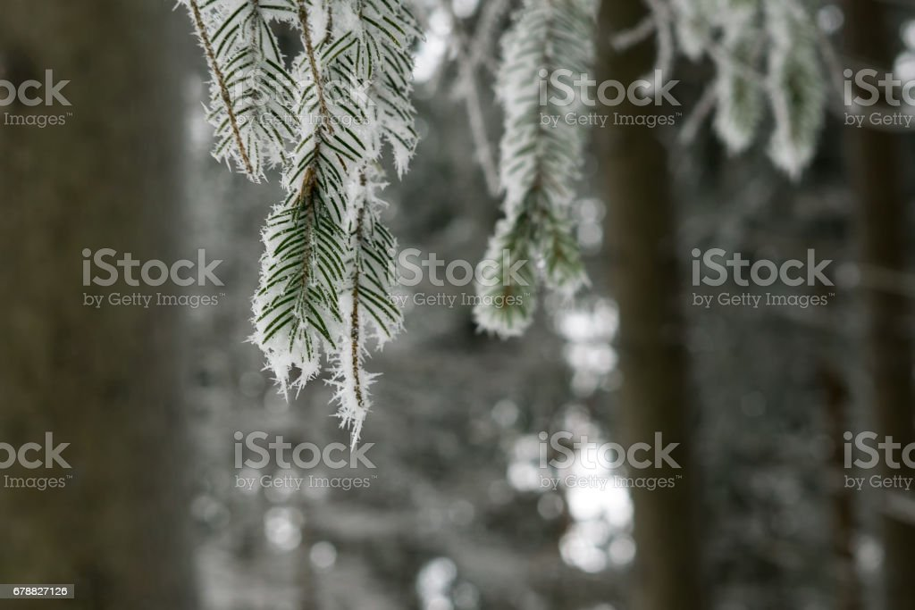 Tree covered by ice and snow needles during winter. photo libre de droits