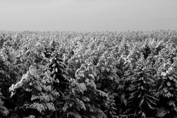 Tree covered with snow in black and white Tree covered with snow in black and white. Seasonal background. apostate stock pictures, royalty-free photos & images