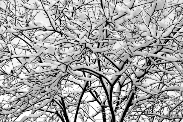 Tree covered with snow. Tree covered with snow. Seasonal background apostate stock pictures, royalty-free photos & images