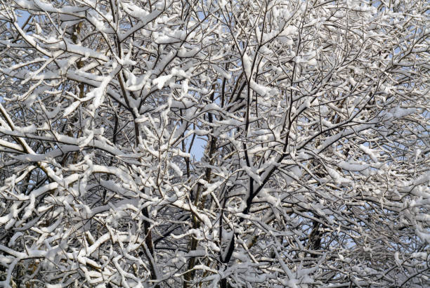 Tree covered with snow. Tree covered with snow. Seasonal background. apostate stock pictures, royalty-free photos & images