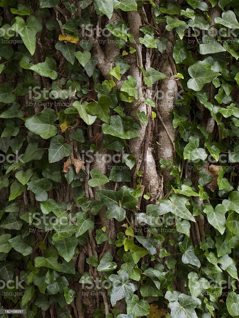 Árvore coberto com edredons verde trepadeiras foto royalty-free