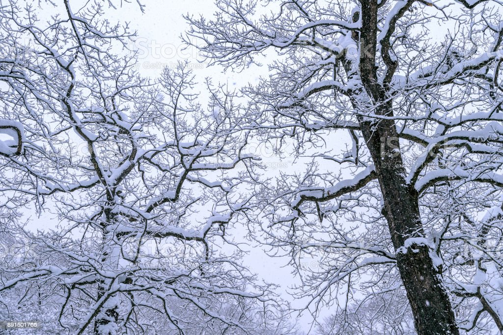 Tree coveredby snow in winter. Tree coveredby snow in winter. Apostasy Stock Photo
