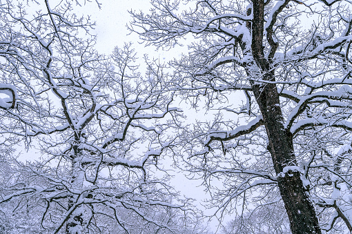 Tree Coveredby Snow In Winter Stock Photo - Download Image Now