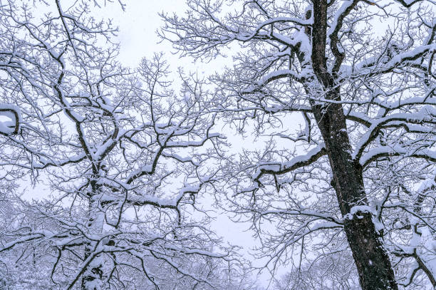 Tree coveredby snow in winter. Tree coveredby snow in winter. apostate stock pictures, royalty-free photos & images