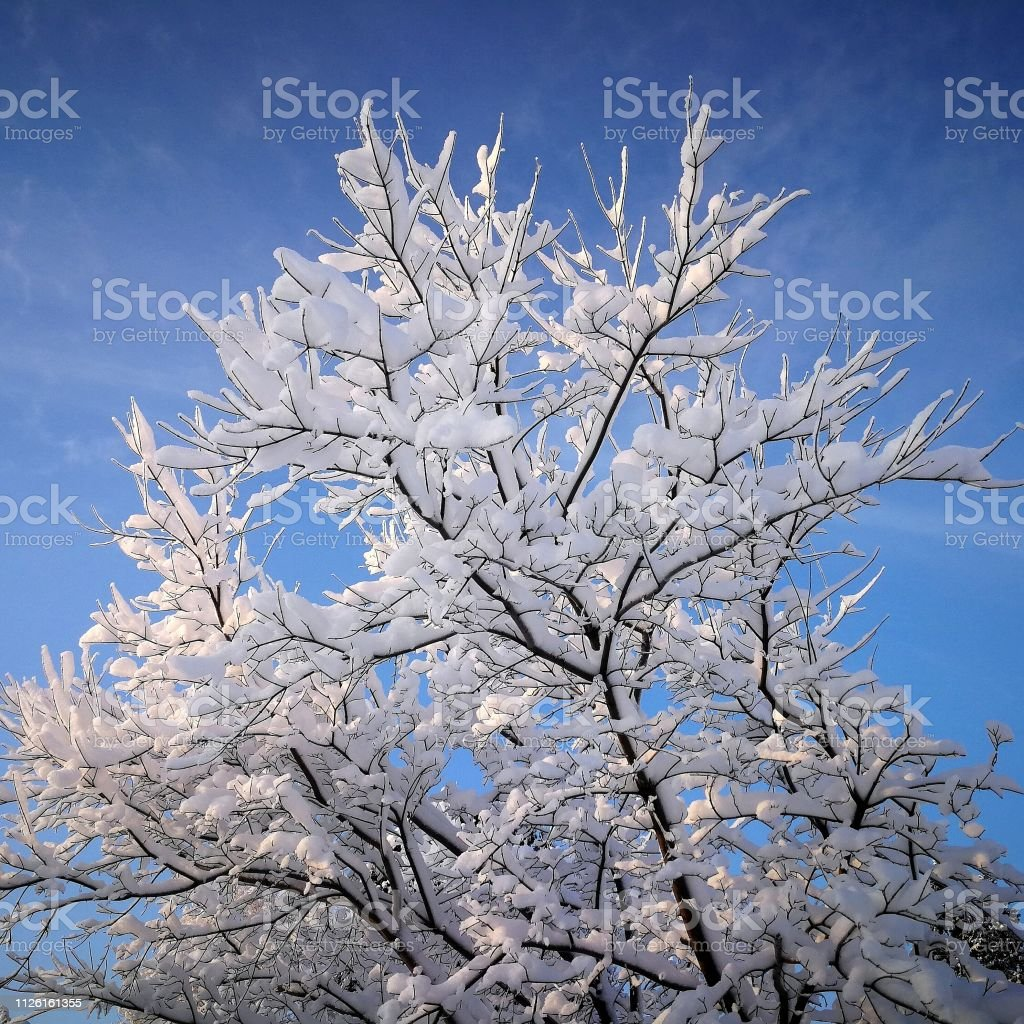 Tree cowered by snow stock photo