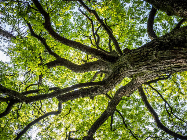 Tree crown OLYMPUS DIGITAL CAMERA canopy stock pictures, royalty-free photos & images