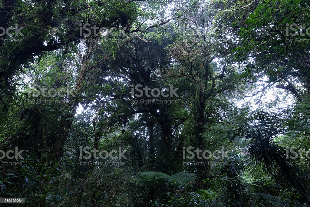 Tree crowns in the cloud forest of Costa Rica stock photo