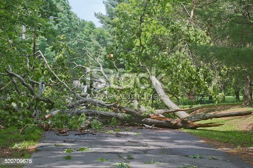 A large oak tree brought down by a storm lies crumbled and broken across a road completely blocking access