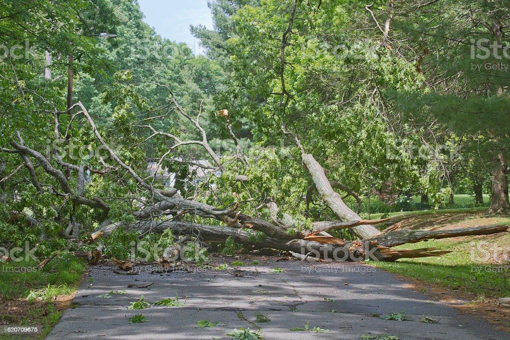 Tree Crumpled Across Road stock photo