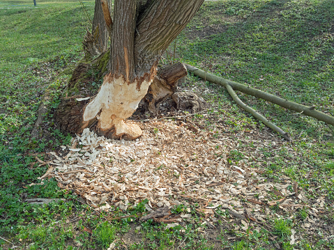 Location: Bavaria, Germany. Feeding traces of the European Beaver. Wood shavings and beavers teeth cut show the traces of a beavers nightly activity. Beavers are a protected species in Germany.