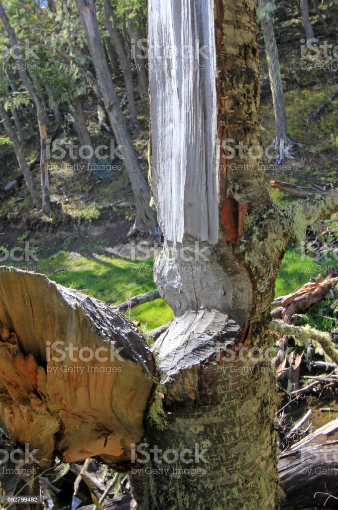 Tree damaged by beavers, Castor valley, Tierra Del Fuego, Chile stock photo