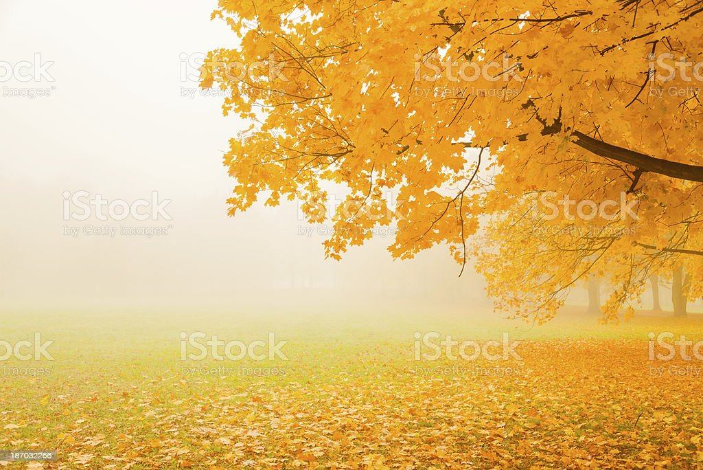 Tree displaying autumnal colors in a misty park royalty-free stock photo