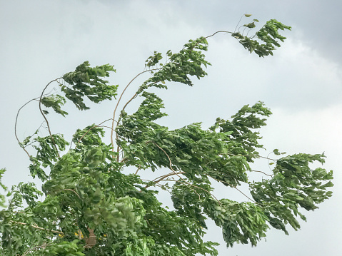 Tree During Heavy Wind Stock Photo - Download Image Now