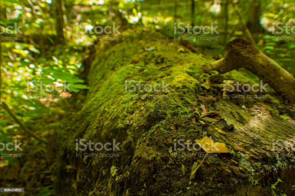 Tree Falls in Island Creek National Forest stock photo