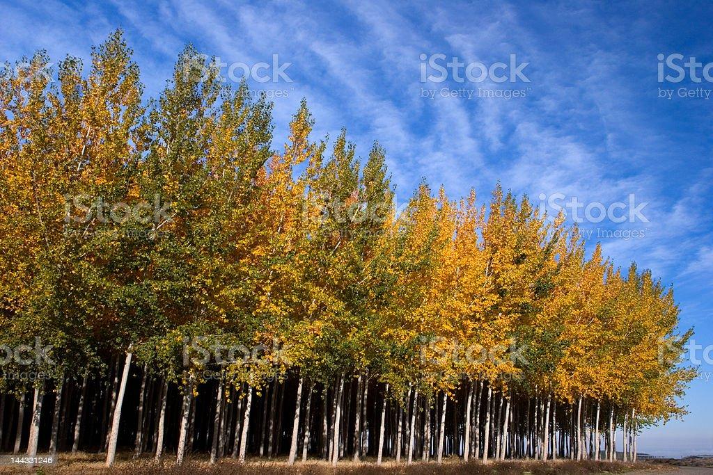 Tree Farm II royalty-free stock photo