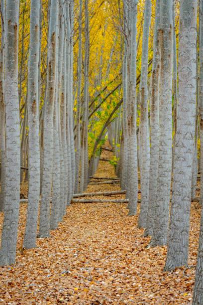 Vue de la ferme forestière vers le bas d'une rangée d'arbres en automne - Photo