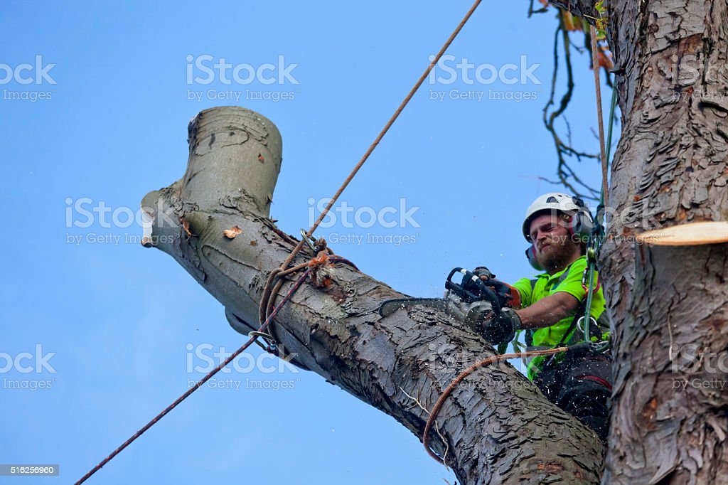 Tree Felling by a Tree Surgeon Sectional Dismantling stock photo
