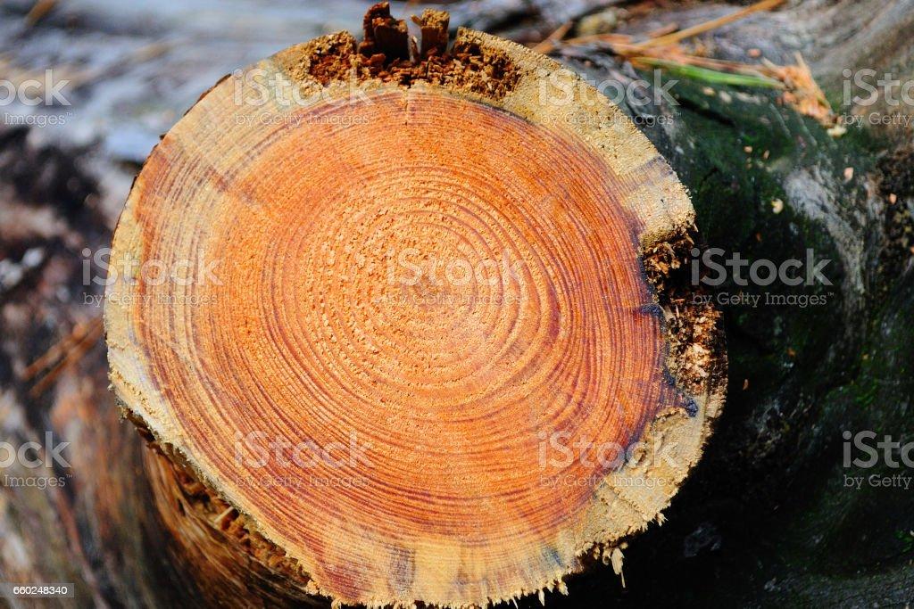 Abattage des arbres. - Photo