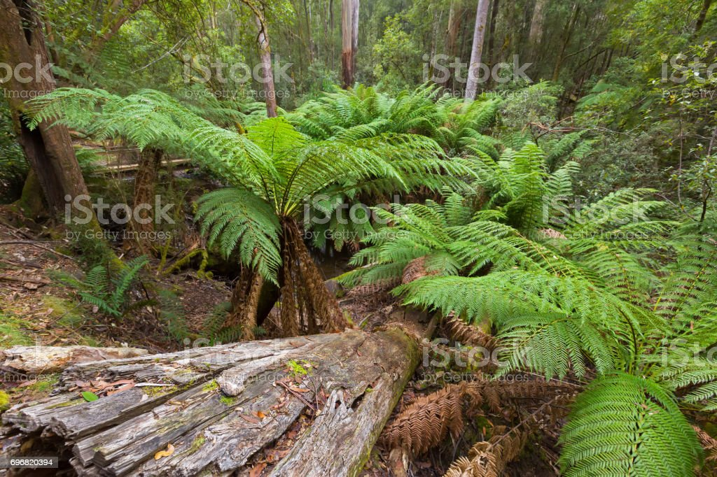 Tree Ferns growing near creek surrounded by forest covered with green moss at Mount Field,  Tasmania, Australia stock photo