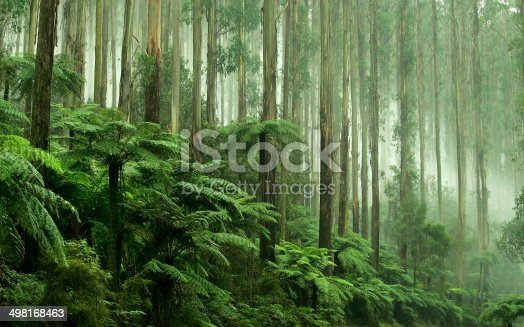istock Tree Ferns in Black Spur Drive, Healesville, Victoria 498168463