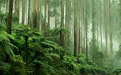 istock Tree Ferns in Black Spur Drive, Healesville, Victoria 498168463