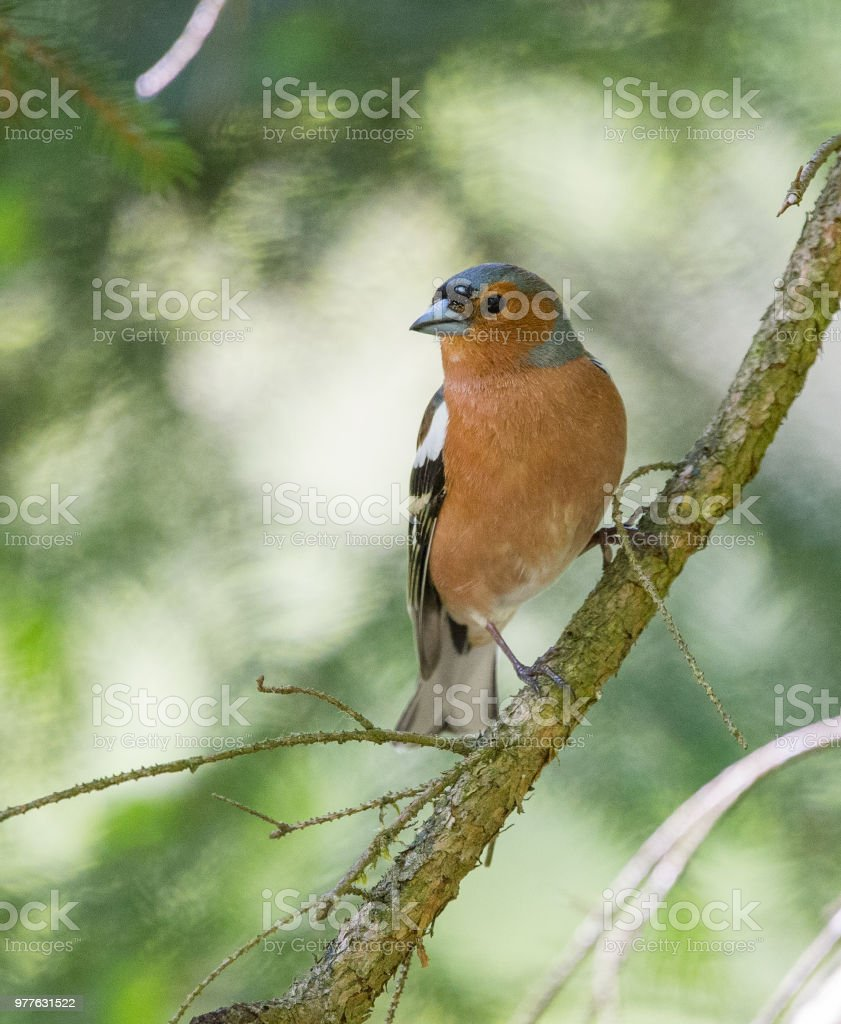 Pinson Des Arbres Stock Photo Download Image Now Istock