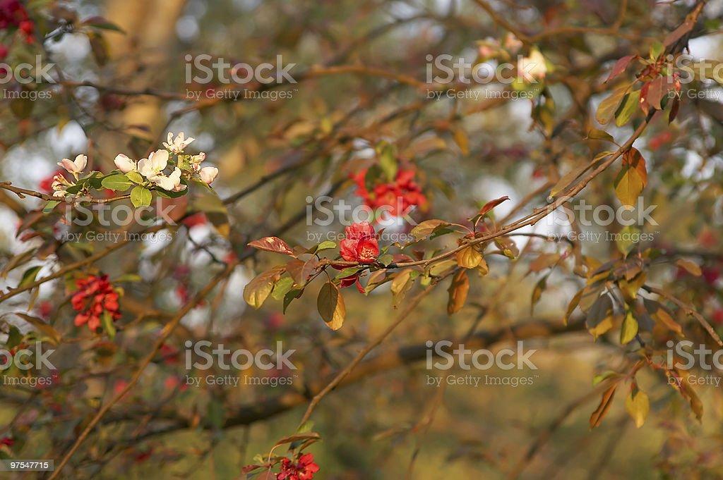 Tree flowers royalty-free stock photo
