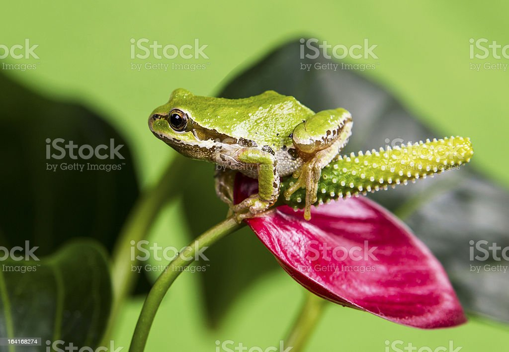 Tree Frog and Red Flower royalty-free stock photo