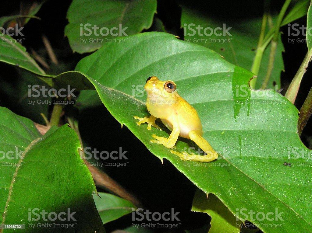 Tree Frog Calling. royalty-free stock photo
