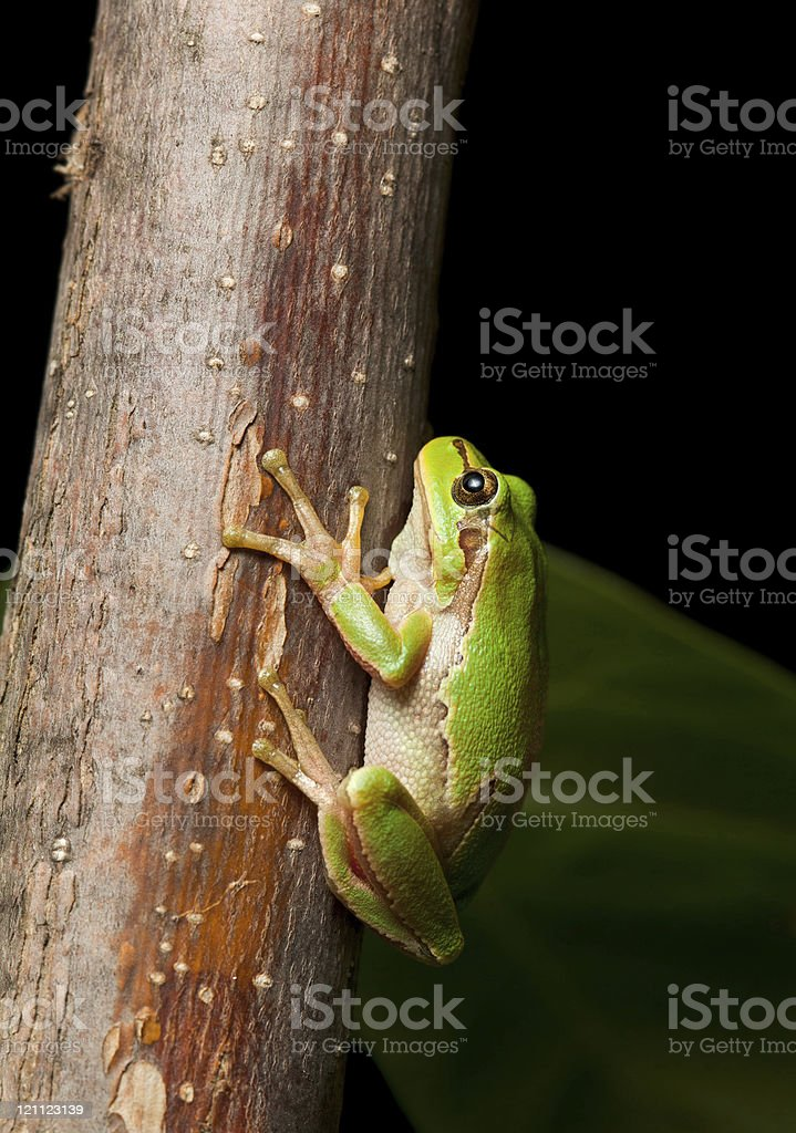 Tree frog clinging on branch stock photo