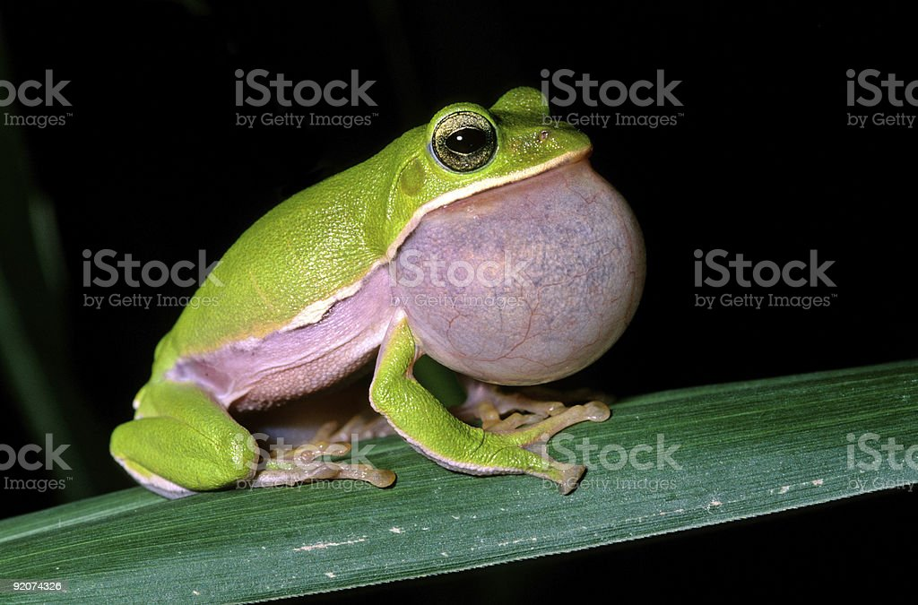 Tree frog courtship royalty-free stock photo