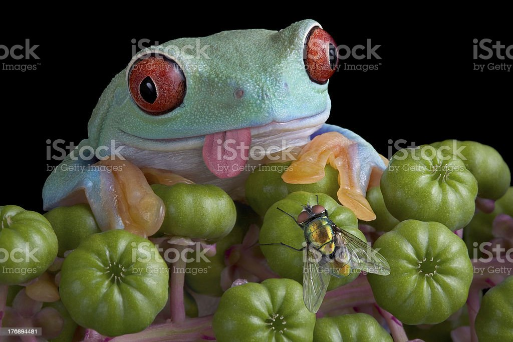 Tree frog eyeing fly royalty-free stock photo