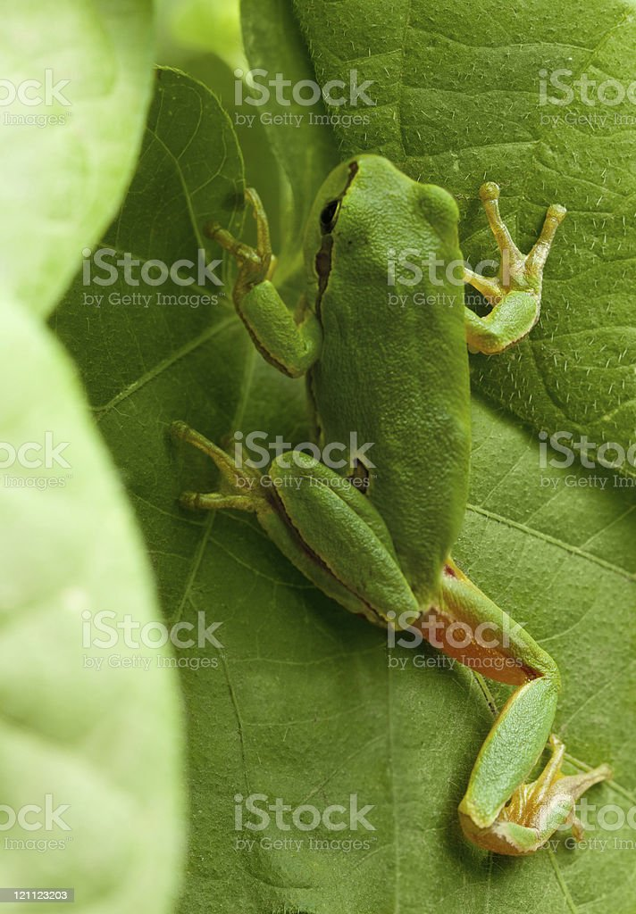 Tree frog hide in foliage stock photo