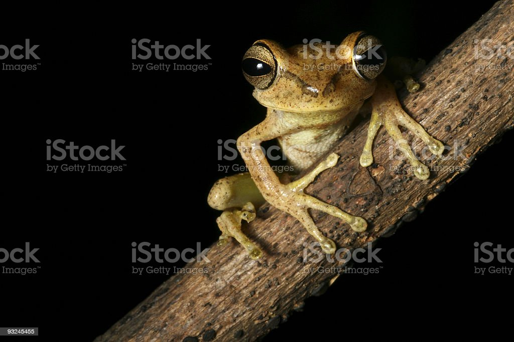 tree frog Hypsiboas faciatus tropical amazon rain forest night stock photo