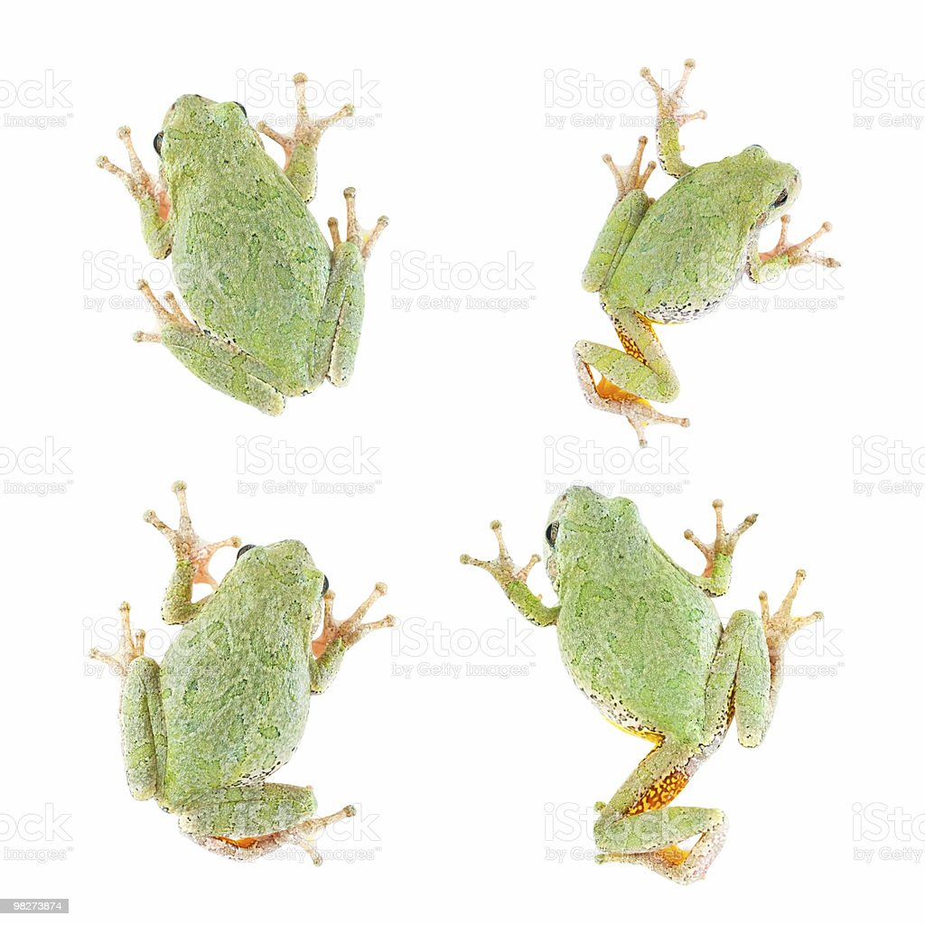Tree Frog Isolated, 4 Views royalty-free stock photo