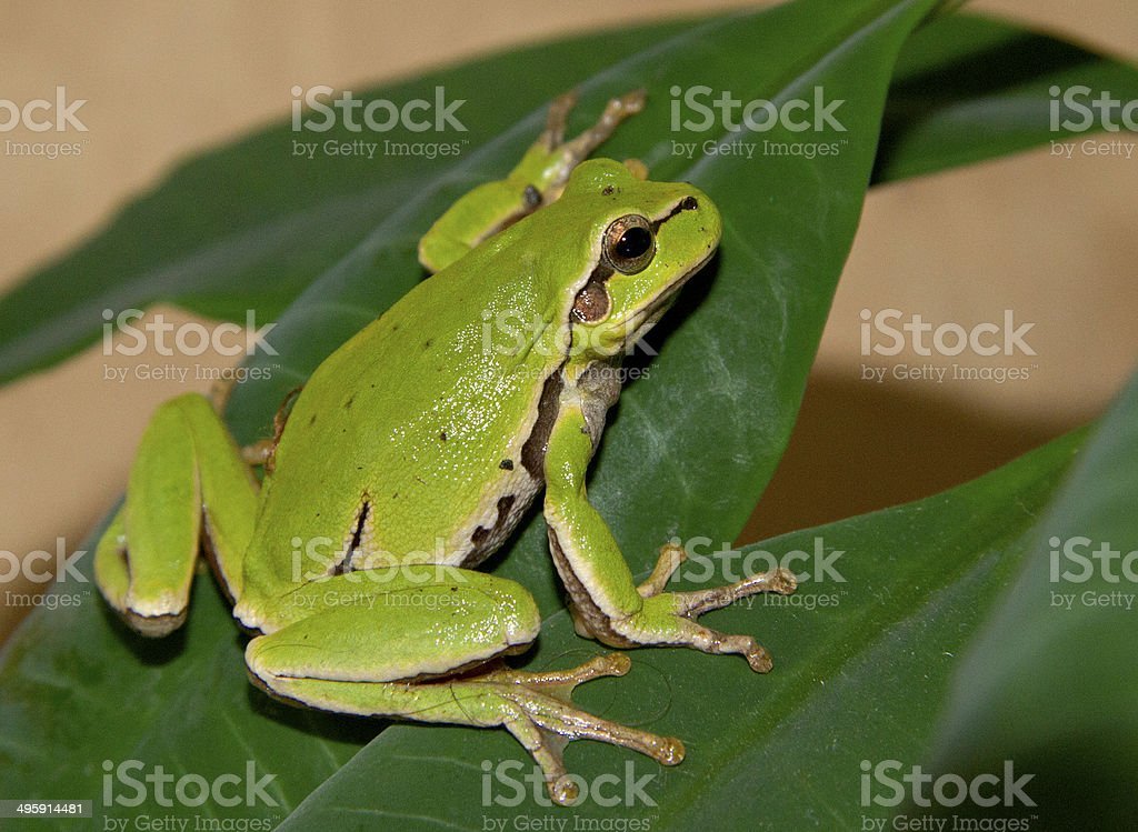 Tree frog on a green leaf. stock photo