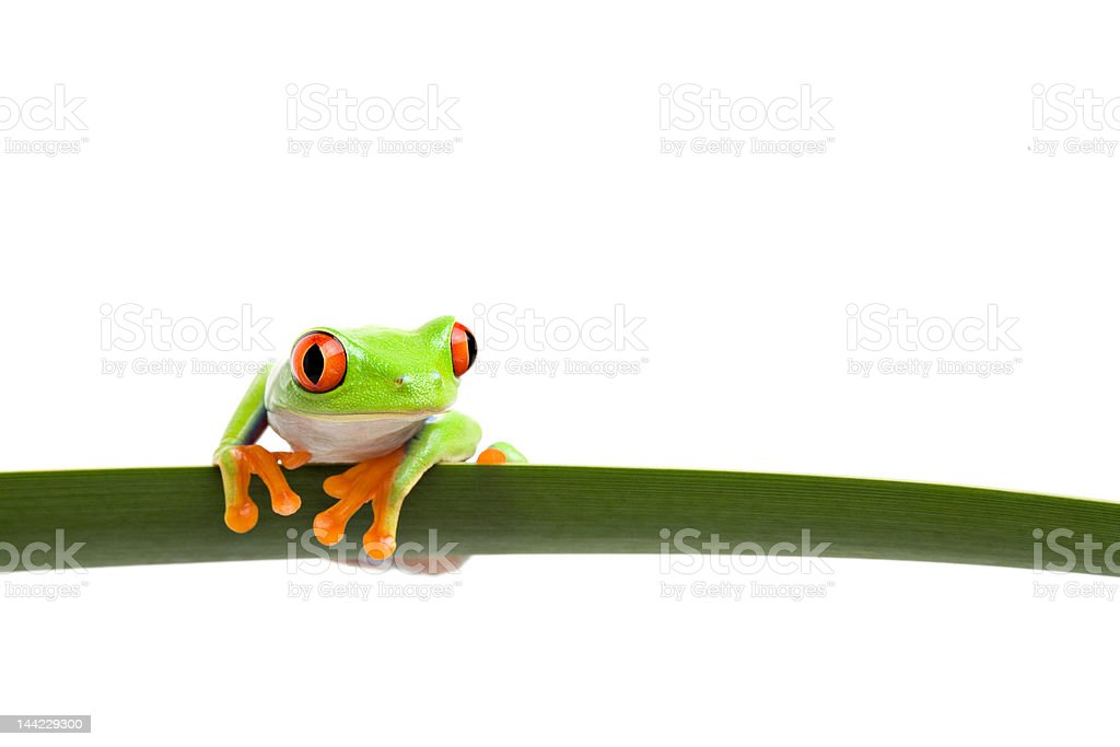 tree frog on a leaf stock photo