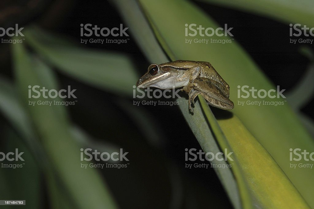 Laubfrosch auf Blatt – Foto