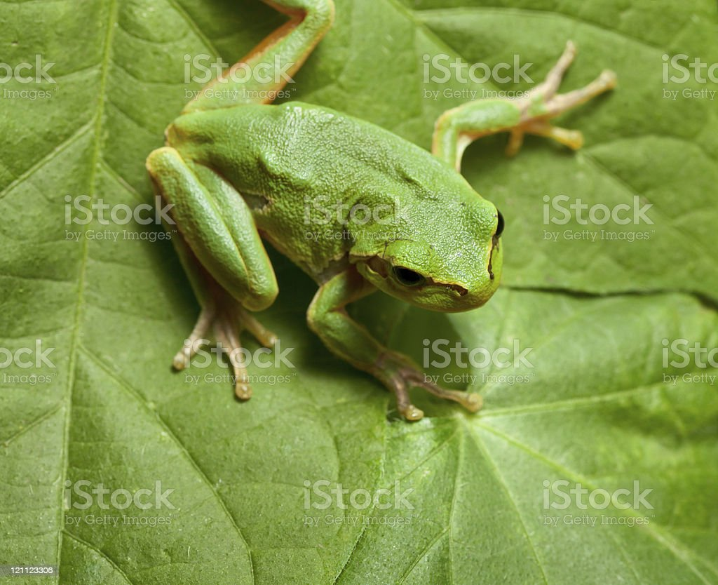 Tree frog on leaves background stock photo