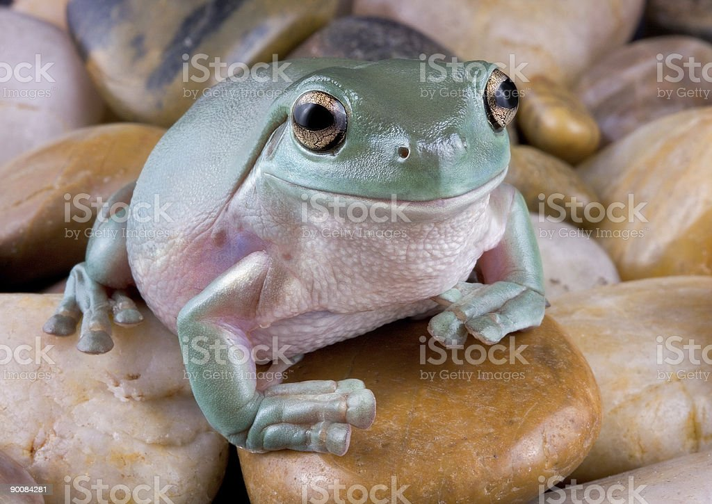 Tree Frog on river rock stock photo