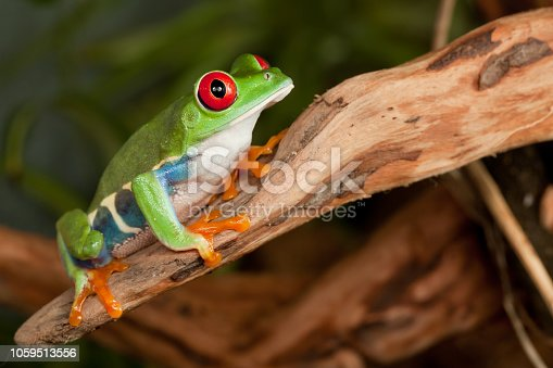 istock Tree frog on the branch 1059513556