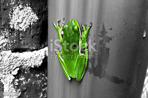 Tree frog on the wall