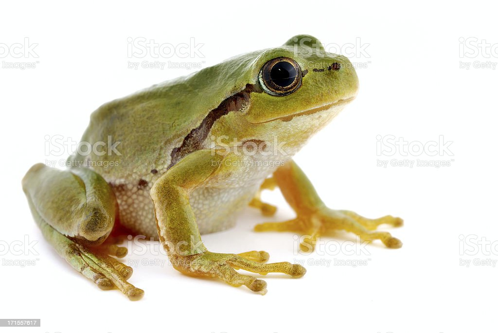Tree frog on white background - close-up royalty-free stock photo
