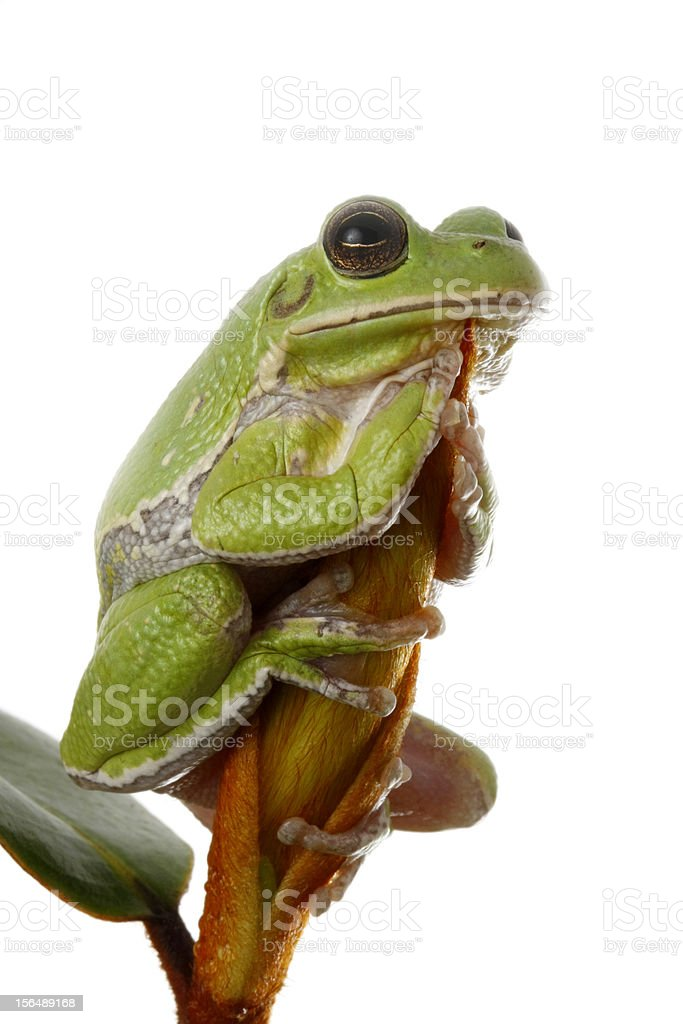 Tree Frog Perched on a Magnolia blossom bud stock photo