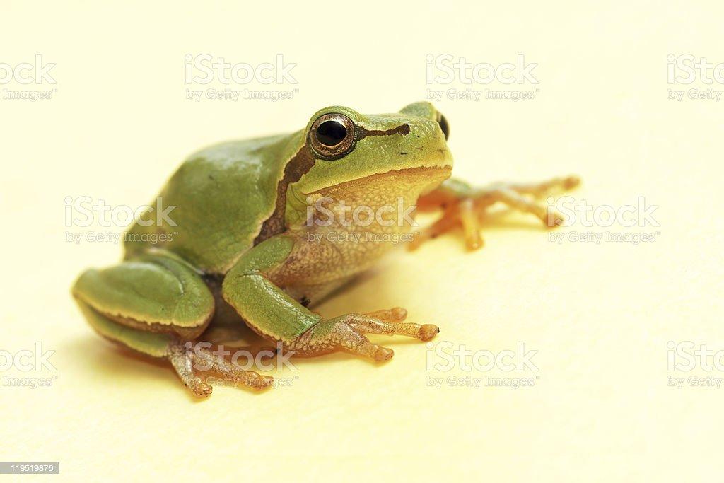 Tree frog (Hyla arborea) royalty-free stock photo