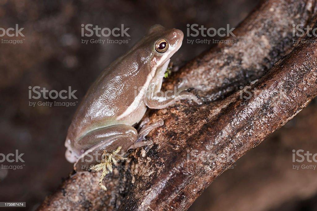 Tree Frog royalty-free stock photo